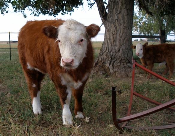 calves3.jpg